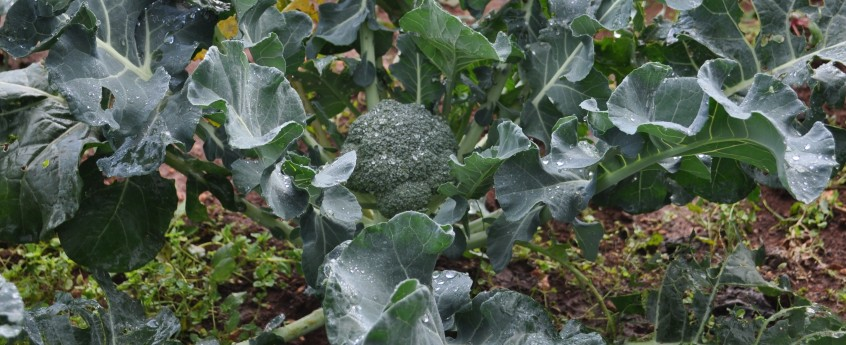 Broccoli Garden Joy Branka Valcic